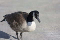 Lone goose Royalty Free Stock Photos