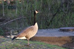 Lone goose Royalty Free Stock Images