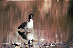 Lone goose standing in shallow water of the Boise river. Reflective water has a red tone royalty free stock photography