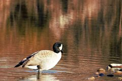 Lone goose standing in shallow water of the Boise river. Reflective water has a red tone stock image