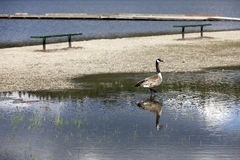 Goose wades in flooded water. Royalty Free Stock Images