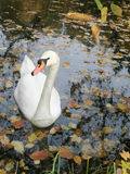 Lone graceful swan. Swimming in a pond among the yellowing leaves Stock Photo