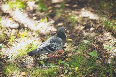 A lone gray dove walks on the green grass, looking for food. Feathered friend on a summer or spring Sunny day, close-up. Blurred royalty free stock photo