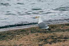 A lone gray gull, standing near the shore of Lake Stock Photo