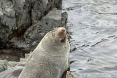 Seal Looks Back At Camera royalty free stock photos