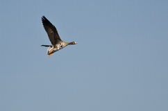 Lone Greater White-Fronted Goose Flying in a Blue Sky. Lone Greater White-Fronted Goose Flying in a Clear Blue Sky royalty free stock photo