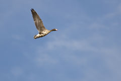 Lone Greater White-Fronted Goose Flying in a Blue Sky Royalty Free Stock Images