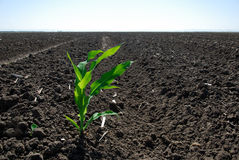 Lone Green Corn Plant Royalty Free Stock Image