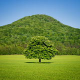 Lone green horse chestnut tree in spring. With green hill in the background stock photos
