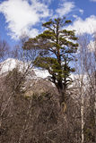 Lone green pine surrounded by bare trees Stock Photos