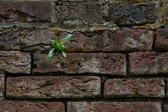 A lone green sprout on a brick wall Royalty Free Stock Image