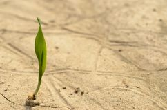 A lone green sprout broke from the grain on the parched soil. Royalty Free Stock Image