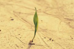 A lone green sprout broke from the grain on the parched soil. Royalty Free Stock Photography