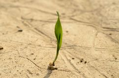 A lone green sprout broke from the grain on the parched soil. Stock Image