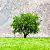 Lone green tree on the field in Ladakh, India Stock Photos