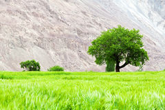 Lone green tree on the field Stock Photos