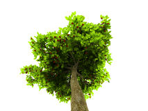 Lone green tree isolated on white Royalty Free Stock Photography