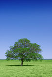 Lone green tree in nature Royalty Free Stock Images
