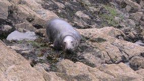 Lone Grey Seal stock video