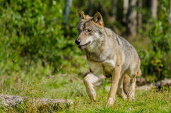 Lone Grey wolf (Canis lupus) Royalty Free Stock Photos
