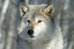 Lone Grey Wolf Stock Photography