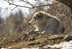 A lone grey wolf resting on a hill. Basking in the sun Stock Photography