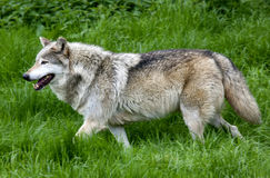 Lone Grey Wolf running Stock Image