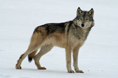 Lone Grey Wolf. Standing in the snow Stock Photo