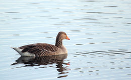 Lone greylag goose swimming in light coloured water. Royalty Free Stock Images
