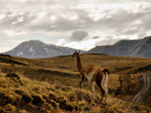 Lone Guanaco Stock Images