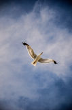Lone Gull over Menorca Royalty Free Stock Photography