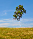 Lone Gum Tree Royalty Free Stock Photo