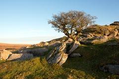 Lone hawthorn tree Royalty Free Stock Photography
