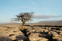 A lone hawthorn tree in late afternoon sun, Ingleborough, North Yorkshire Royalty Free Stock Image