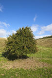 Lone hawthorn tree Stock Photo