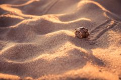 Lone hermit crab crawling across beach sand dunes towards shelter concept way forward. Lone hermit crab crawling across beach sand dunes towards shelter concept royalty free stock images