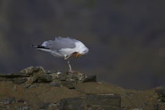 Herring gull Stock Photo