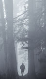 Hiker in Foggy Redwods. A lone hiker silhouetted under redwoods stock image