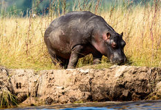 Lone Hippo on the banks of the Chobe river Stock Image