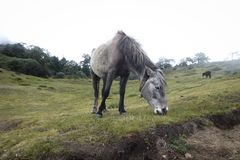Horse eating grass, Namche Bazaar, Everest Base Camp trek, Nepal stock photos