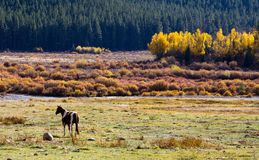 Lone Horse Grazes in Colorado Mountain Valley Stock Photography