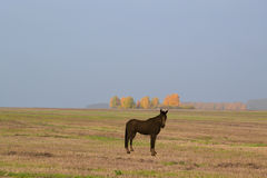 A Lone horse in a meadow. Stock Photography