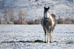 Lone Horse in the Ruby Mountain Valley Stock Images
