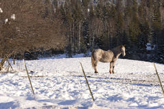 Lone horse in snowy field. Stock Photos