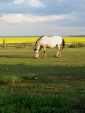 Lone Horse at Twilight. A lone Appaloosa mare grazes on grass in the twilight hours, highlighted by a golden canola field behind her and the shadows of the trees Stock Photography