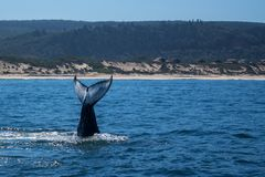 A lobtailing whale near to the shore royalty free stock image
