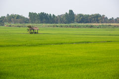 Lone hut in a rice field. In Thailand Royalty Free Stock Photos
