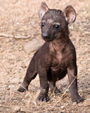 Lone hyena pup in Mantobeni, South Africa Stock Photos