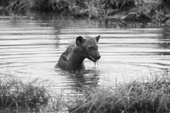 Lone hyena swim in a small pool to cool down on hot day Royalty Free Stock Photos
