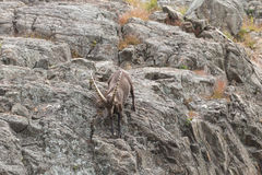 A lone Ibex on a cliff in fall Stock Images